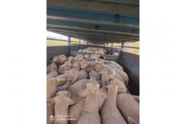 69 koyun bi Koç tayirova genç 15 koyun kuzulu 20 kuzu var