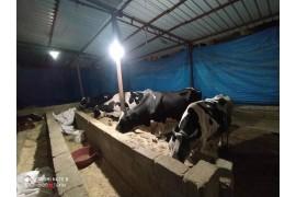 Satılık sütlü inekler isteyen bize ulaşın
