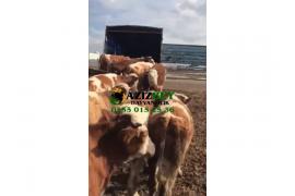 Vakıflara şirketlere hayvan temini yapılır