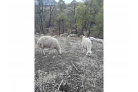 Satılık koyun, koç, kuzu, toklu,keçi