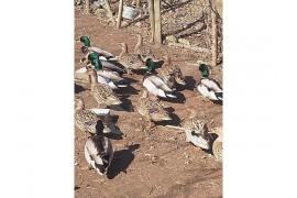 6 dişi 3 erkek Ördek Satılık