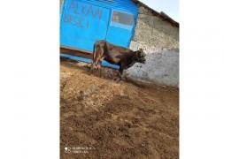 Satılık sağılır inek