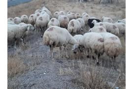 Maşallah maşallah kalite 40 koyun 1 Koç