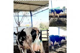 sahibinden satılık 3 adet Taze buzalı ineklerim satıyorum