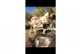 Satılık, inek,düve, dana, tosun