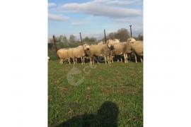 34 gebe koyun 1 koç