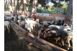 125 adet koyun sahiplenecektir