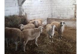 Tahirova  8 adet gebe koyun