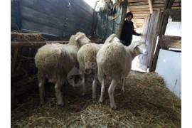 3adet 4aylık gebe duble koyunlar