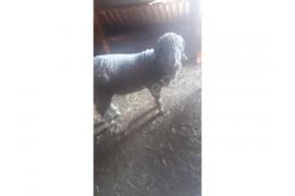 Damizlik boynuzlu merinoz koçluk kuzu