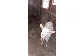 Sahiplendirilecek 4 adet keçi