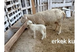 Kuzulu koyunlar ve gebe sakiz toklu