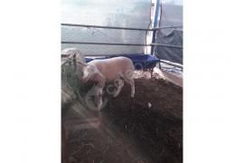 2 aylık erkek kuzum satılık