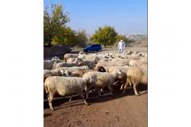 67 âdet gebe kıvırcık koyun