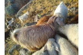 İki adt kuzulayici keçi bir tane erkek cebis