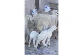 250 adet A kalite damızlık koyun koyunlar kuzulamaya başladı
