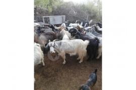 Satılık Oğlak ve Keçiler