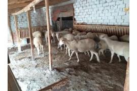 26 adet koyun sahiplendirilecektir