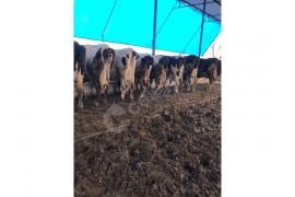 AA kalite hoştein inekler hepsi boylu poslu