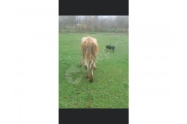 Bir Doğum  İnek    Süt. Vermi 5.6. Kilo