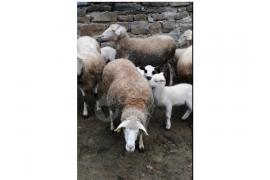 5 adet koyun 4dü kuzulu 1gebe 5 kuzu
