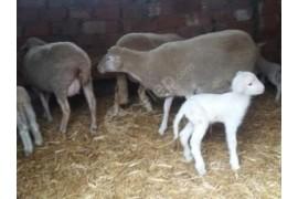 5 koyun 7 kuzu