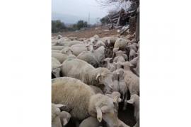 Kaliteli merinos 80 koyun 80 kuzu