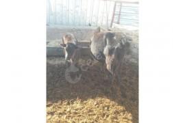 8 tane buzagili genç ineklermiz satılık