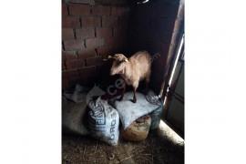 4 keçi bir teke satılık