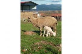 Tek kuzulu koyun satılık
