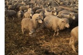 Yeni çiftlik kuracaklar için 250, 500 ve 1000 adet damızlık koyun sağlanır.