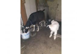 Sahiplendirilecek damızlık süt keçisi