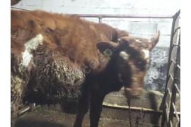 6 aylık. Sütçül ırk.