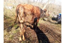 Mayalık genç inek
