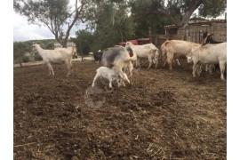 8 keçi 10 oğlak oğlaklar yeme düşmüş