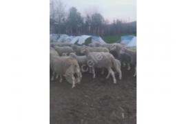 Satılık, koyunlar, kuzular ve 1 tane koç