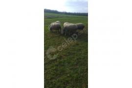 Duble Merinoslar 13 koyun 1 koç toplam 14 adet