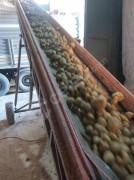 Yemlik patates yem maliyetinin düşürmek için lasyon