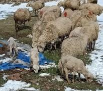 25 adet koyun, 5 tanesi kuzulu, damızlık pirit