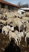 Toptan ya da perakende 37 koyun 1 koç 30 kuzu