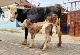 2 adet ineğimi satışa sunuyorum