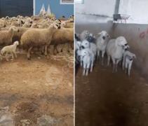70 adet koyun 50 tane kuzulu