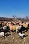 90 adet  kuzulu giresun cakrağı cinsi koyun satılıktır