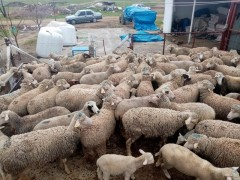   Kracabey merinosu 67 koyun 50 Kuzu