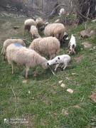 Satılık 5 kuzulu koyun 2 tane gebe