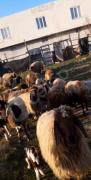 13 tane damızlık ev koyunu