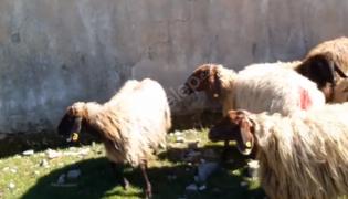 4tane dişi kuzu