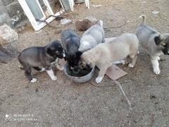 UCRETSİZ üc adet disi yavru köpek