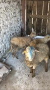 KALİTE HESAPLI   5 kuzu satılık