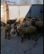 22 tane kalite kuzu  kurbanlık ve damızlık olur.